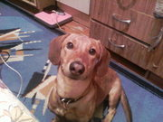 Пропала собака по кличке Бублик