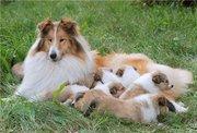 Колли расписные щенки